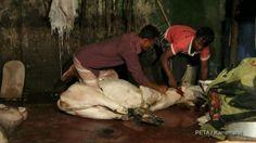 Diese Tiere werden für Lederprodukte gehäutet