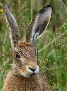 HARE: Guile, living by one's wits, changing with the seasons, hidden teachin… - Happy Tiere Hare Pictures, Animal Pictures, Beautiful Creatures, Animals Beautiful, Animals And Pets, Cute Animals, Strange Animals, Wild Rabbit, Animal Magic