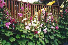 Hollyhocks, perfect backdrop for any perennial flower garden, old fashioned or not!