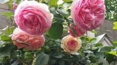 Mary rose in my garden
