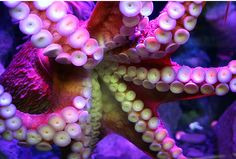 octopus colors