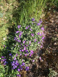 Petites fleurs violettes de rocaille / Purple flowers on my garden