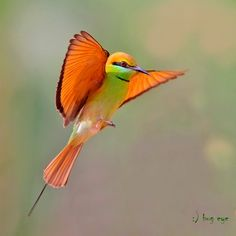 nature wildlife birds bird animals fly flight bee bee-eater jump jumping red chiang-mai thailand