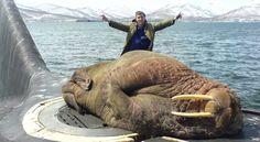 A walrus asleep on a Russian Submarine. We all live on a Russian submarine, Russian submarine, Russian submarine,. Animal Pictures, Funny Pictures, Random Pictures, Funny Pics, Russian Submarine, Funny Animals, Cute Animals, Mundo Animal, Marine Life