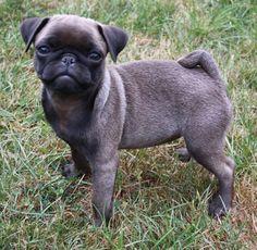 Cute Silver Pug Puppy