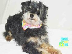 ~ Animal ID #A1698695 ‒ My Name is GIGI. I am a Female, Black & Tan Miniature Poodle and Yorkshire Terrier. The shelter thinks I am about 5 years old. I have been at the shelter since May 14, 2015. Miami-Dade Animal Services ‒ (305) 884-1101 7401 NW 74th Street Miami, FL Fax: (305) 805-1619 https://www.facebook.com/OPCA.Shelter.Network.Alliance/photos/pb.481296865284684.-2207520000.1432375788./823617714385929/?type=3&theater