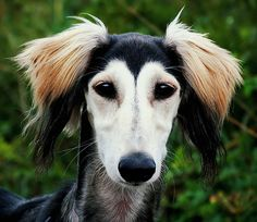 The Saluki is a slim, Greyhound-like dog. The Saluki is gentle, friendly, even-tempered and extremely devoted. It can be somewhat aloof, even with its family. This loyal dog may become attached to one person. Good with children who do not try and roughhouse with it.