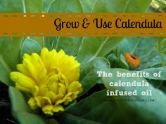 Growing and Using Calendula - The Benefits of Calendula Oil http://preparednessmama.com/calendula-oil-benefits/