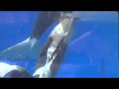 PARTO DE ORCA: Hermoso video, solo lamento que sea en cautiverio, sin embargo no deja de ser maravilloso.