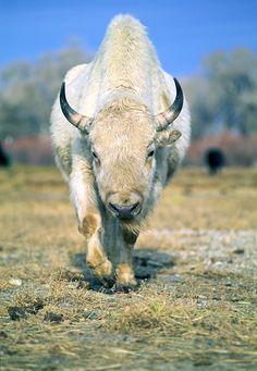 http://www.wanderlustimages.com/gallery/albums/Stock/wildlife/BUF-14_1200px.JPG