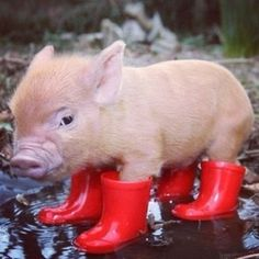Teacup pig so cute it even has little red rain boot. Description from pinterest.com. I searched for this on bing.com/images