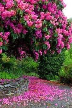 Rhododendron the National Flower of Nepal