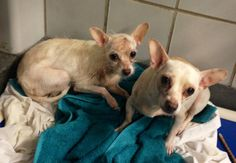 323218 Snowball/323219 Tinkerbell San Antonio, TX *Urgent! At Risk of Euthanasia! **PAST DEADLINE! We Need a Commitment by 2PM the Pet Picked Up by 4:30PM Sunday 3/8!** 23218 Snowball/323219 Tinkerbell/323220 Kujo are 3 amazing dogs! They are all three owner surrenders, but they are also all housetrained! Snowball and Tinkerbell tend to be a little bit nervous. https://www.facebook.com/236899813079211/photos/a.589237164512139.1073742701.236899813079211/588295991272923/?type=3&theater