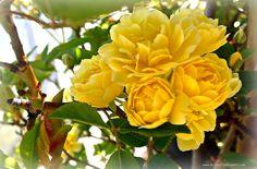 Another Floribunda -