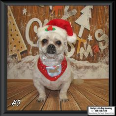 Peanut Small Breed, Dog Grooming, Dogs, Animals, Animales, Animaux, Pet Dogs, Doggies, Animal