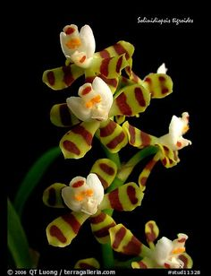 Picture/Photo: Solinidiopsis tigriodes. A species orchid