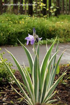 My new variegated iris - yay!