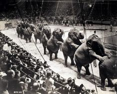 A group of over twenty-six Ringling Brothers, Barnum & Bailey Circus elephants, standing on their rear legs with front legs resting on the elephant ahead. Vintage Carnival, Vintage Circus, Vintage Ads, Historical Images, Historical Society, Water For Elephants, Circus Elephants, Circus Acts, Circus Circus