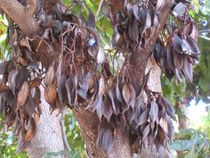 Stenocarpus sinuatus , Queensland Firewheel Tree, seed pods.   Margaret Donald