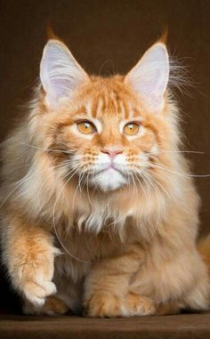 Gorgeous ginger cat!