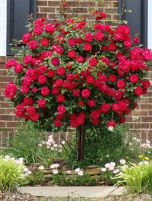 "Knockout Rose Trees are quite an amazing sight. This petite beauty takes the form of a slim-trunk tree with a pom-pom shaped dome smothered in gorgeous roses. Most other roses require ""dead-heading"", removing the old blooms to promote new ones. Knockout Rose Trees take care of that for you... no maintenance required! They're ""self-cleaning"""