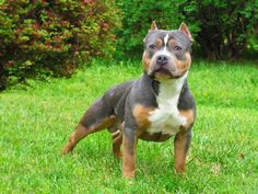 Awesome tri-color blue-nose pit I want one of these pups so bad!!