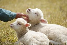 Our neighbors across the gravel road had sheep. It was sweet in the springtime seeing the precious little lambs. Cute Baby Animals, Farm Animals, Amor Animal, Baby Lamb, Sheep And Lamb, Lord Is My Shepherd, Baby Goats, Farm Yard, Beautiful Creatures