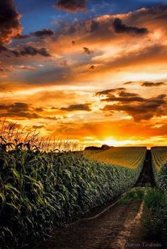 Following the stalks of corn into a blazing golden sunset...