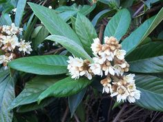 "Eriobotrya japonica ""Loquat"" going in a pot til I can get it in the ground!"