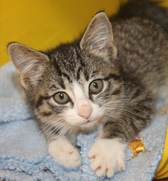 ADOPTED>Intake: 10/18 Available: 10/24 NAME: Roadie  ANIMAL ID: 33767071 BREED: DSH SEX: Female  EST. AGE: 6 weeks  Est Weight: 1 lb 6ozs  Health:  Temperament: Friendly ADDITIONAL INFO:  RESCUE PULL FEE: $35