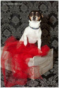Annie, my rat terrier :)