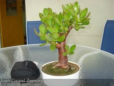 crassula ovata bonsai - Pesquisa Google Jade Bonsai, Succulent Bonsai, Succulents, Crassula Ovata, Jade Plants, Botany, Shrubs, House Plants, Indoor Outdoor