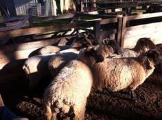 Sheep in the Churchill Island Heritage Farm.