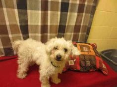 G-G is an adoptable Poodle Dog in Upper Marlboro, MD.  ...