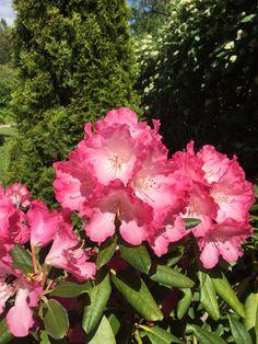 Rose, Nature, Flowers, Plants, Pink, Naturaleza, Plant, Roses, Nature Illustration