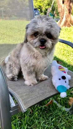 Frankie's web page on Shih Tzu Rescue, Inc. | Adoptable Dogs Tiny Puppies For Sale, Shih Tzu Rescue, Dogs, Pet Dogs, Doggies