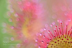 Common sundew (Drosera rotundifolia) by Richard_Guijt. @go4fotos