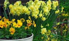 Narcissus Yellow Cheerfulness, Daffodil 'Yellow Cheerfulness', Double Daffodil 'Yellow Cheerfulness', Double Narcissus 'Yellow Cheerfulness', Spring Bulbs, Spring Flowers, Double daffodils, yellow daffodils,  spring flowering bulbs, mid-sized daffodils, d