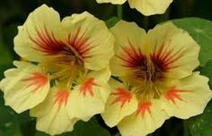 BOTANICAL INTEREST SEEDS Nasturtium Peach Melba Superior Seeds Peachy-yellow flowers with raspberry red centers float above green lily pad shaped foliage. Item #1050
