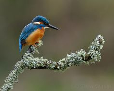 Kingfisher on Lichen Perch by Dean Mason, via 500px