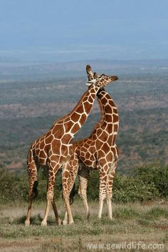 Giraffe couples