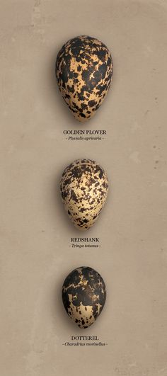 Bird eggs 1.Golden Plover (Pluvialis apricaria) goudplevier 2. Redshank (Tringa totanus) tureluur 3. Dotterel (Charadrius morinellus) morinelplevier