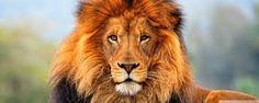 Image result for hd lion image
