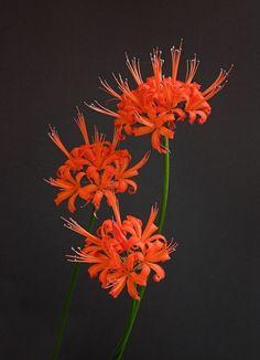 Nerine sarniensis Flowers, Plants, Plant, Royal Icing Flowers, Flower, Florals, Floral, Planets, Blossoms