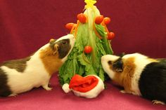 guinea pig christmas tree. the pigs would love this!