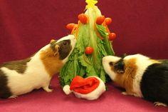 Weihnachtsbaum für Meerschweinchen / guinea pig christmas tree