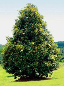Southern Magnolia - Google Search