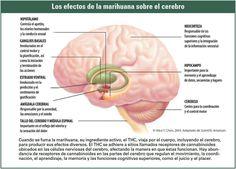 Los terribles efectos de #cannabis sobre el cerebro.