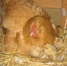 Our Baby Chicks are here!www.wildernesswife.com