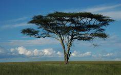 acacia-tree-dream2.jpg (1920×1200)